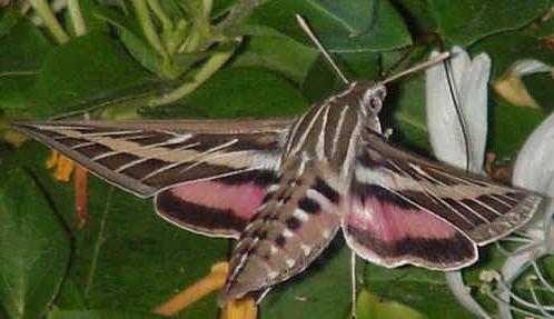krila leptira