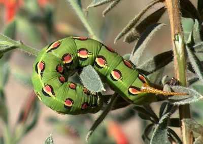 leptir gusjenice