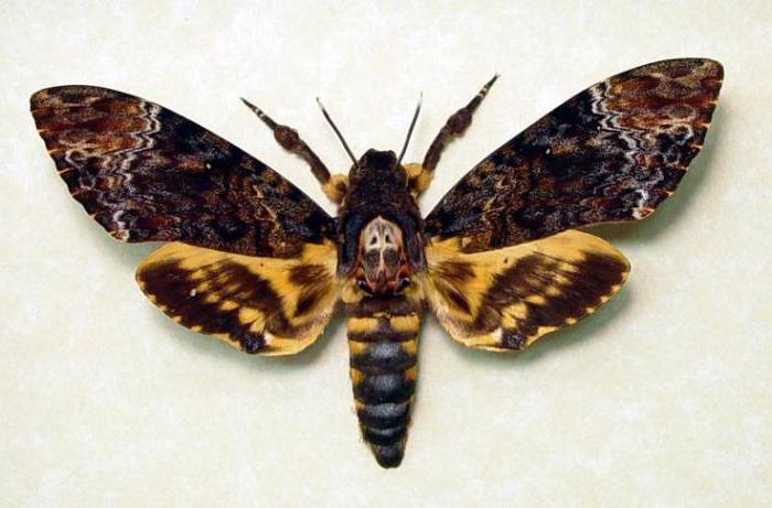 imena leptira