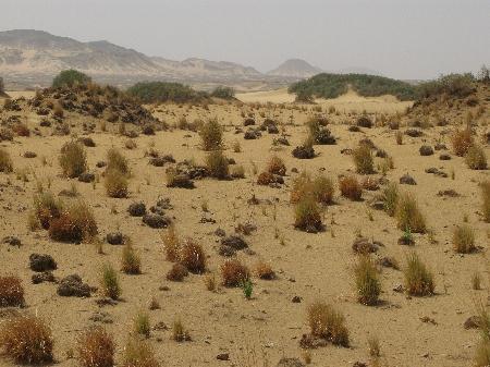 Camel Thorn fotografija