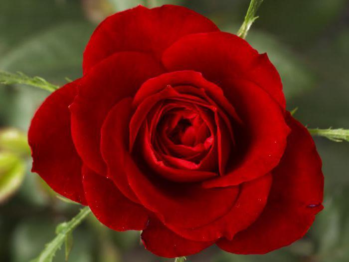 cura e piantando rose