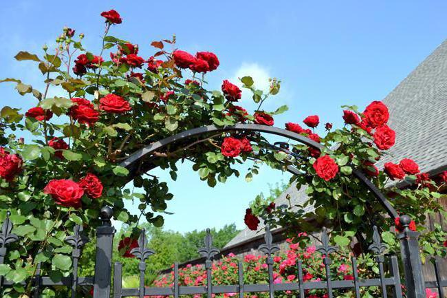 taglio della rosa