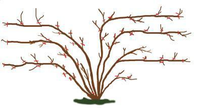 moltiplicazione delle rose