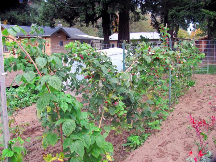 Renowacja upraw i pielęgnacji malin