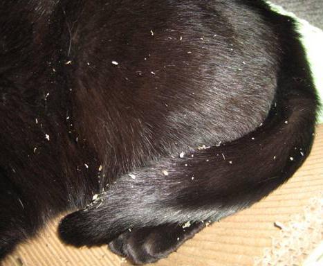 vzrok za prhljenje mačk