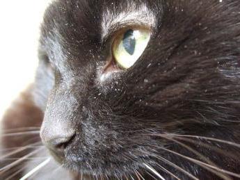 лечение на котка от пърхот