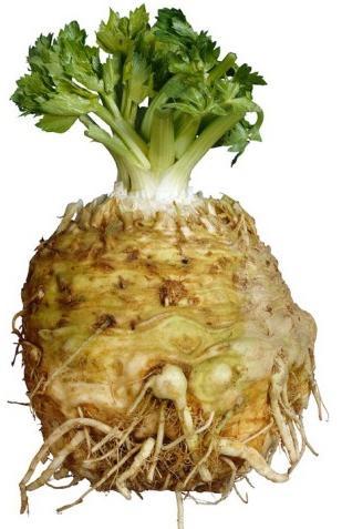 celer kořen