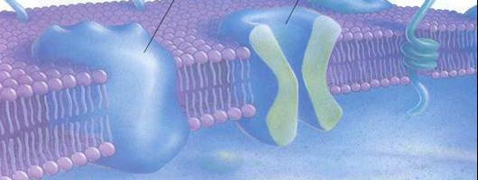 структура и функција ћелијске мембране