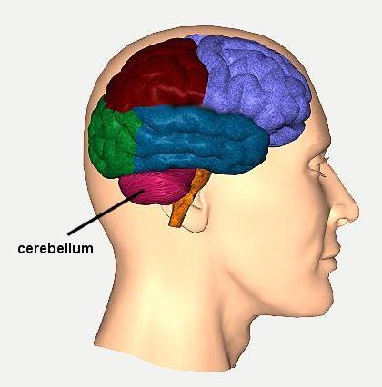 cervelletto del cervello