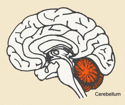 struttura cerebellare