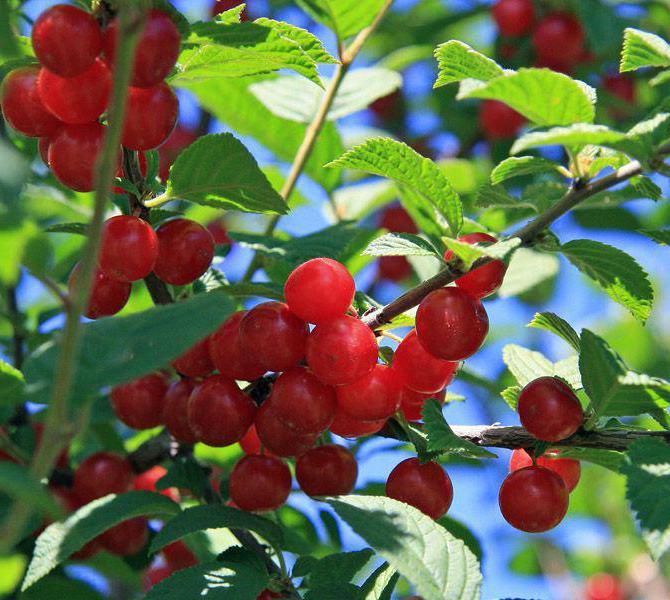 череша или плодове