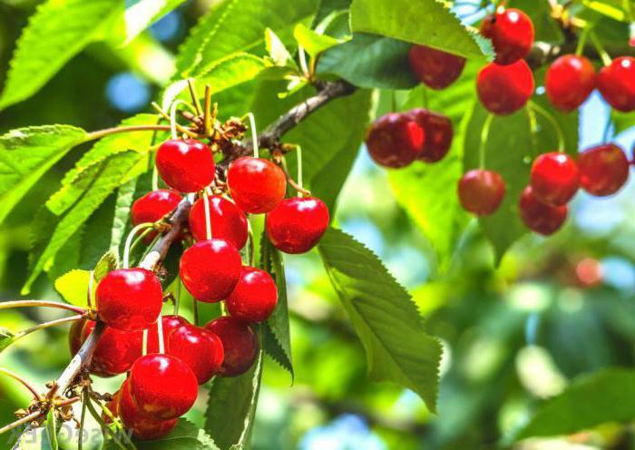 череша е зрънце или плод