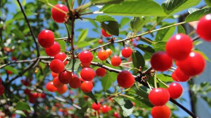 череша и слива е зрънце или плод