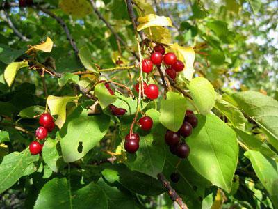 описание на череши или плодове