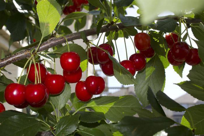 черешово зрънце или плодова снимка