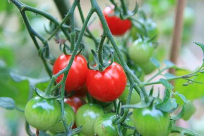 Uprawa pomidorów czereśniowych