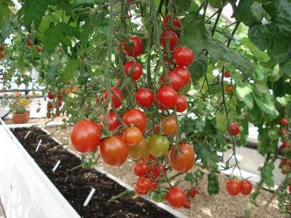 Kiedy sadzić pomidory koktajlowe