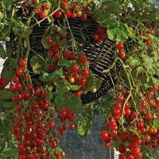 cherry tomato red třešeň