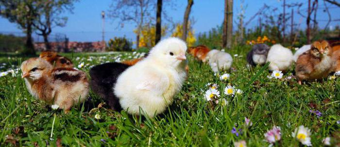 доминиращо пиле
