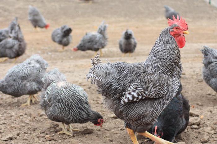 доминиращи пилета