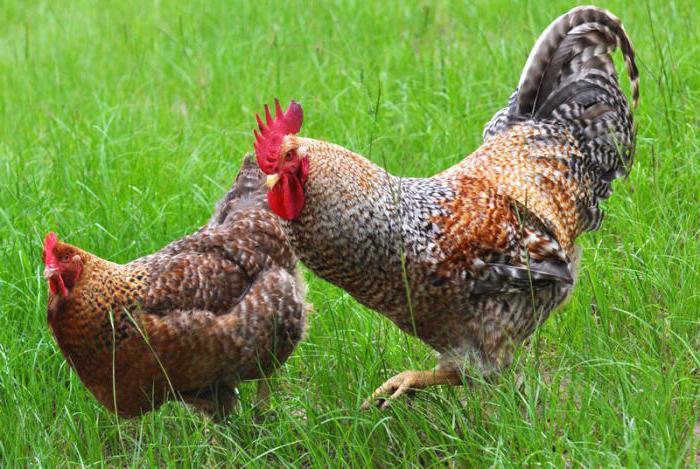 Malá kuřata velké černé ptáky