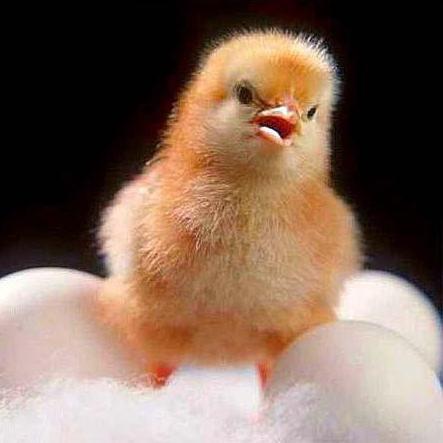 kuřata, která mají rádi velké ptáky