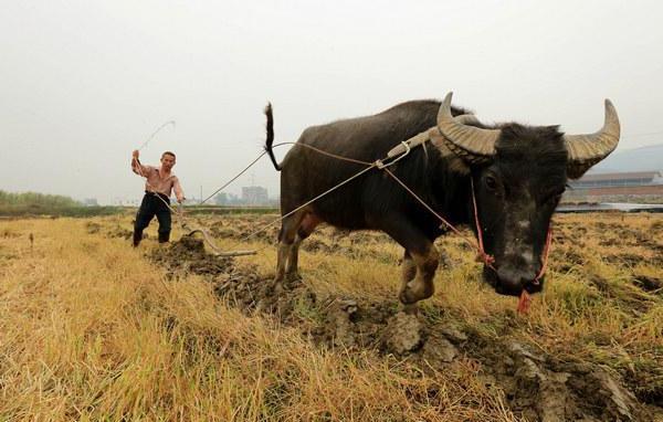 Agricoltura cinese