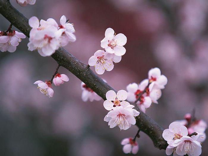 foto di ciliegio cinese