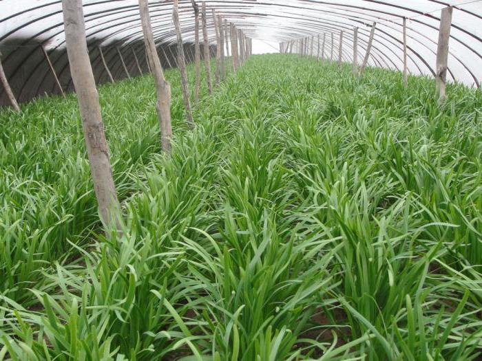 Aglio cinese: coltivazione