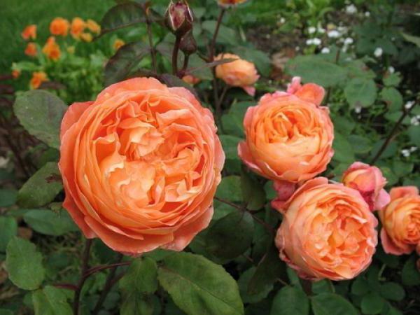 роза chippendale ревюта