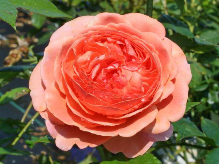 роза сорт чиппендейл