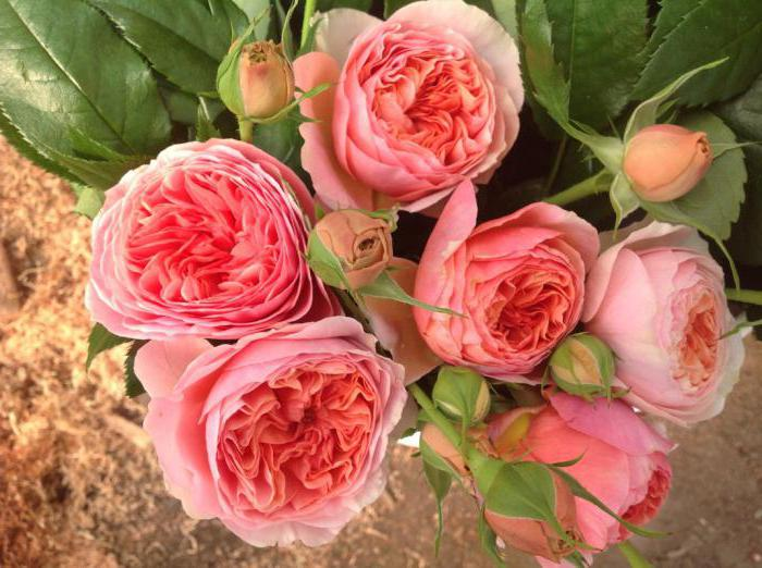 розови chippendale описание ревюта