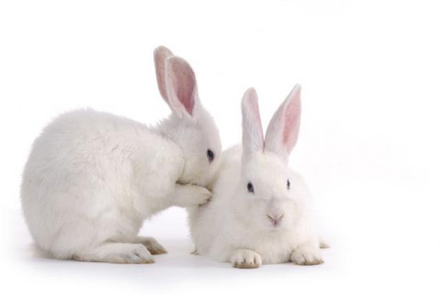 jak odróżnić podłogę królika