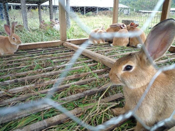 как да се разграничи пола на зайците