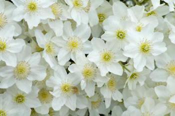 květina clematis