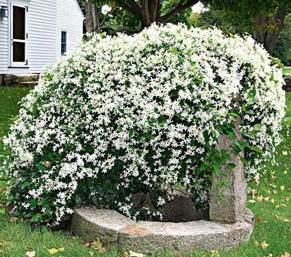 listy clematis