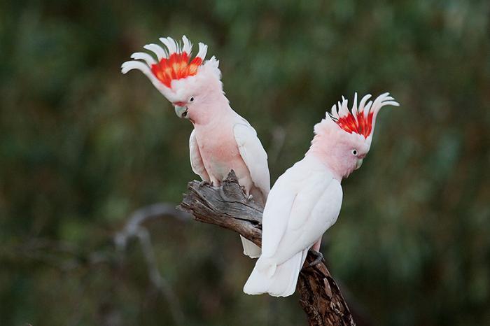 recenzije papagaja