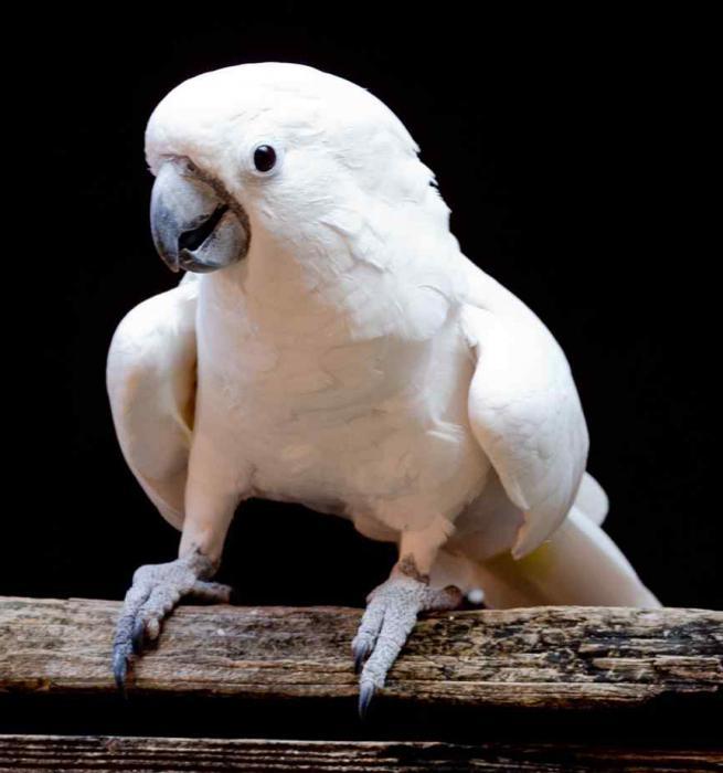 papagaj u bijelom kakaduu