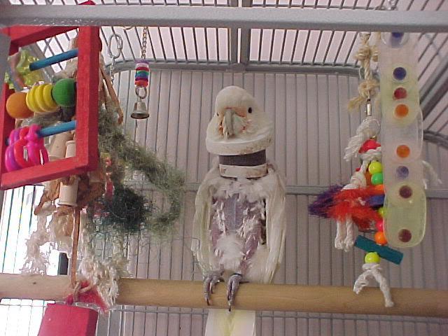 Koliko živi papagaj Kkadu?