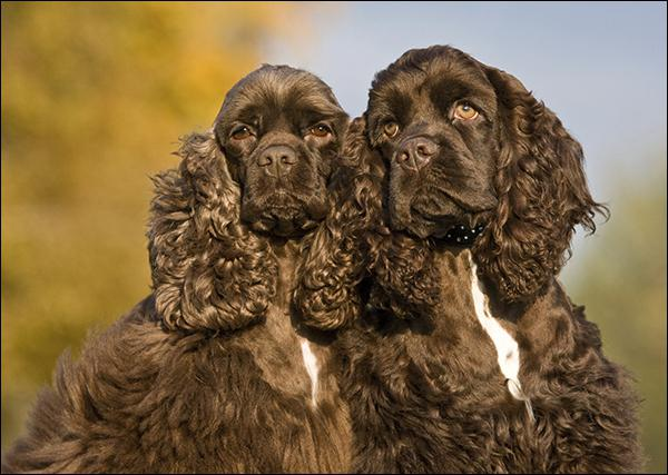 Razza Cocker Spaniel