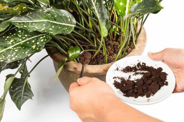 Kava kao gnojivo za sobne biljke