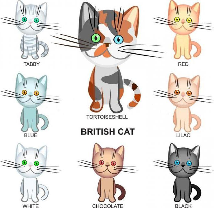 Colori del gatto britannico