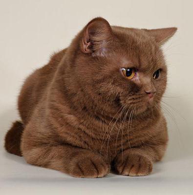 colori del gatto britannico malva