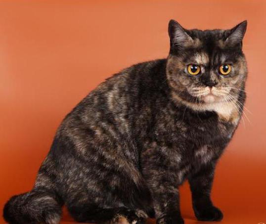 quali colori sono i gatti britannici
