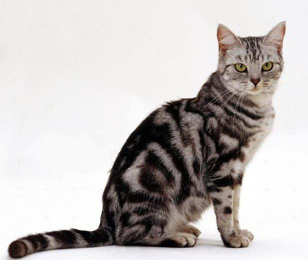 rari colori di gatti britannici