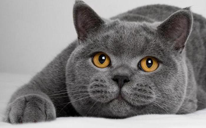 colori scuri di gatti britannici