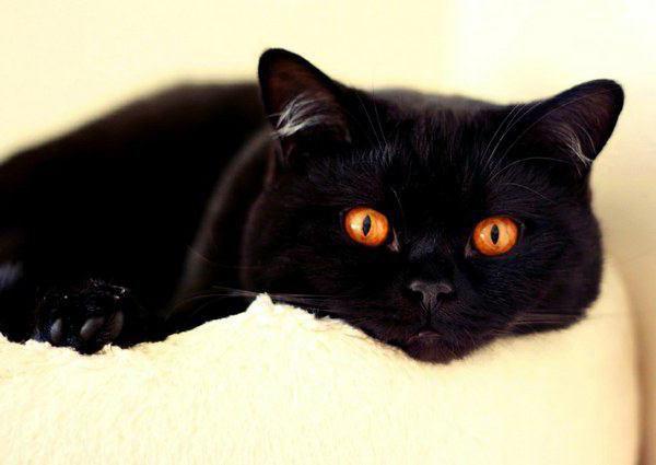 colori dei gatti a pelo lungo britannici