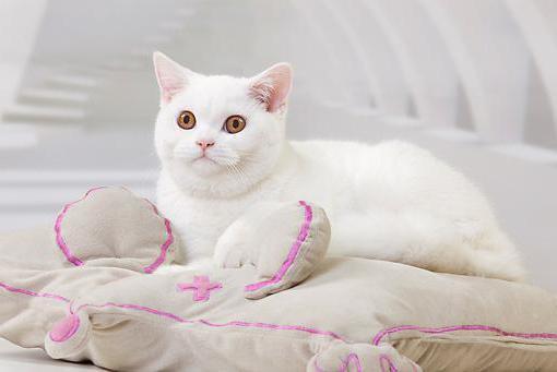 tipi di colori gatti britannici