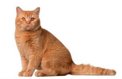 colori gatti britannici cadenti