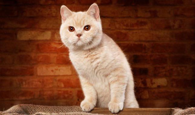 Cartella colori gatti britannici